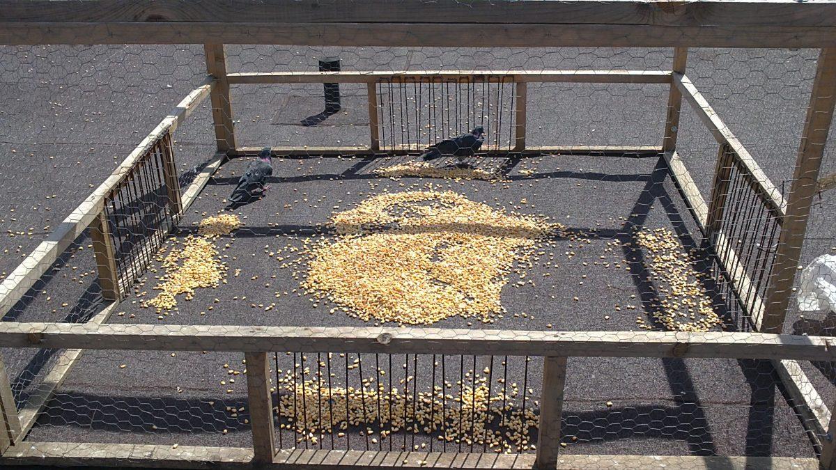 odchyt holubov do klietky
